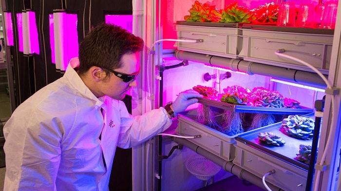 Growing lettuce in the EDEN laboratory (DLR)